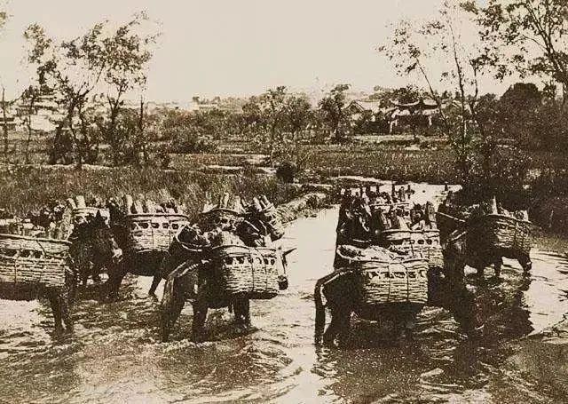 1900年洗马河中的驼马 方苏雅