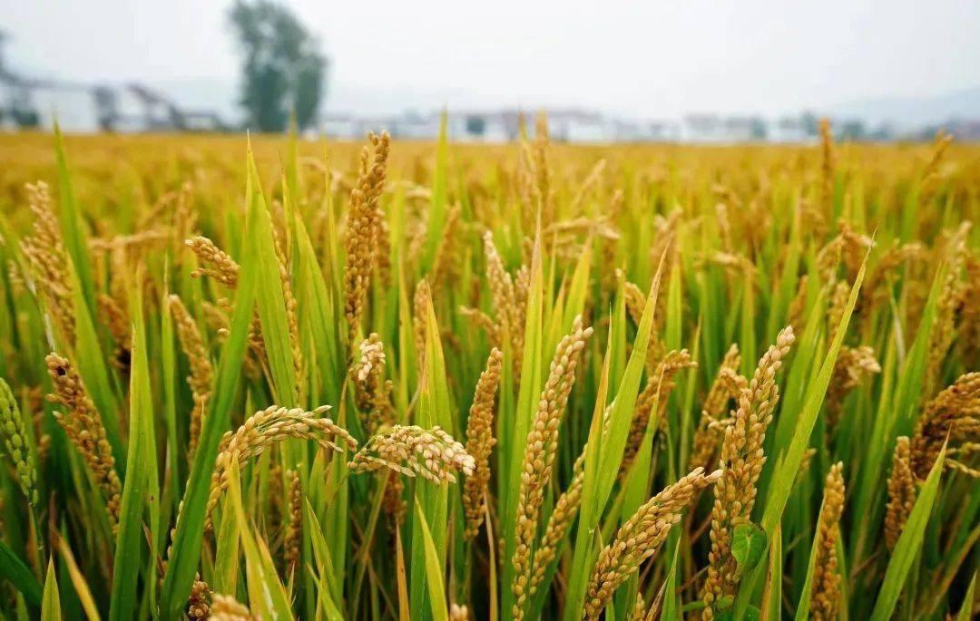 生长的稻谷